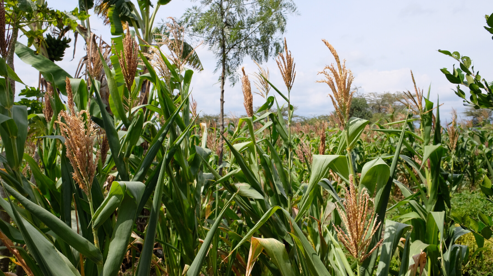 Webinar: Big Bets for Kenyan Food Security in a Time of COVID-19